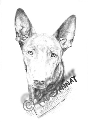 pharaoh hound black
